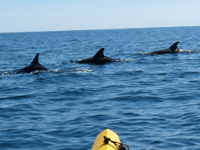 Dolphins breaching in front of the kayak
